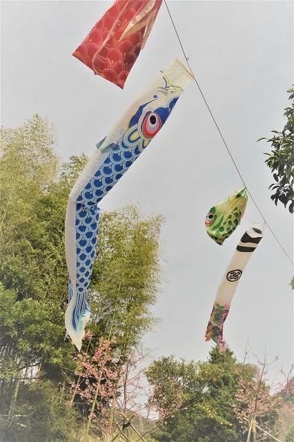 2017河津桜 花見おろし台 鯉のぼりと桜
