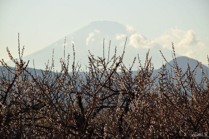 076-Emi-白梅の向こうに富士山