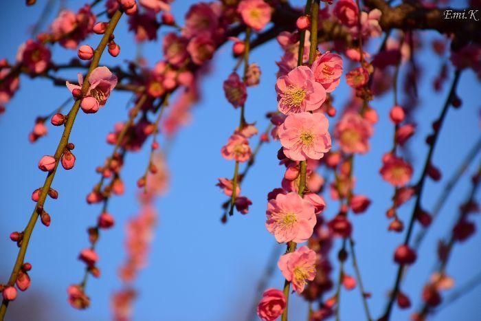 086-Emi-枝垂れ紅梅