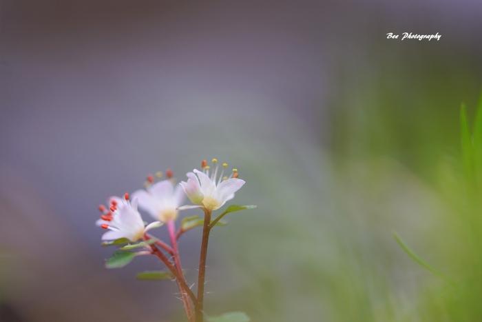 bee-ハナネコノメソウ0283
