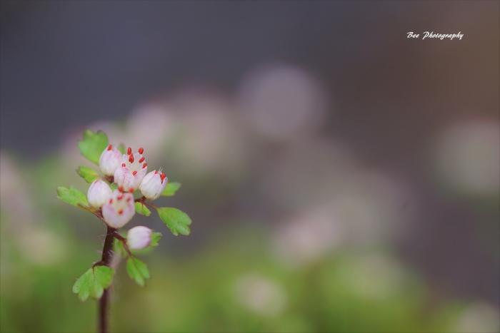 bee-ハナネコノメソウ0352