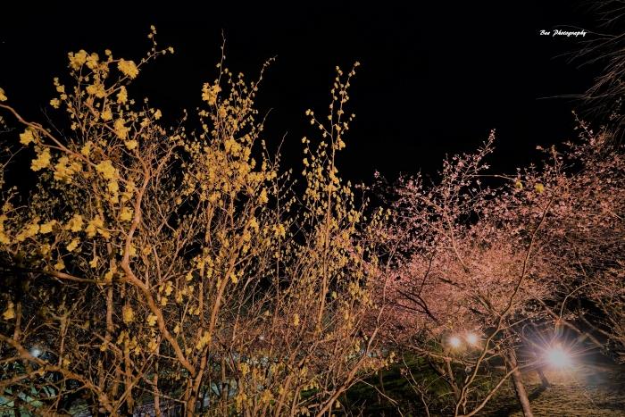 bee-夕やけ小やけ-河津桜0446