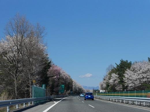 高遠近くの桜
