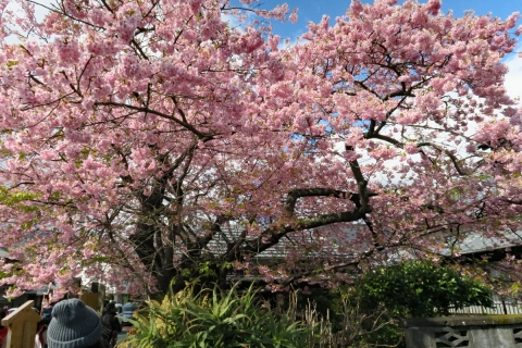10河津桜原木