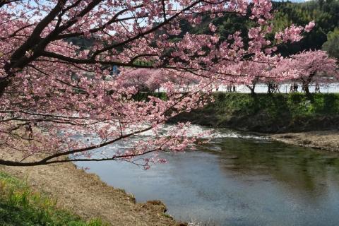 19河津桜