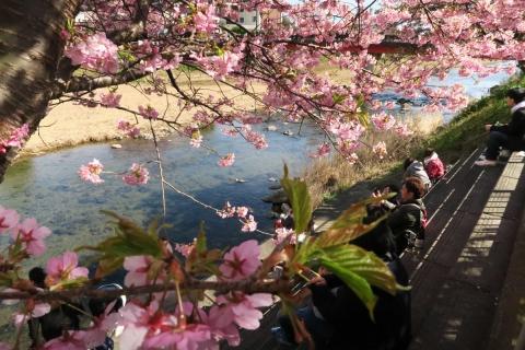 25河津桜