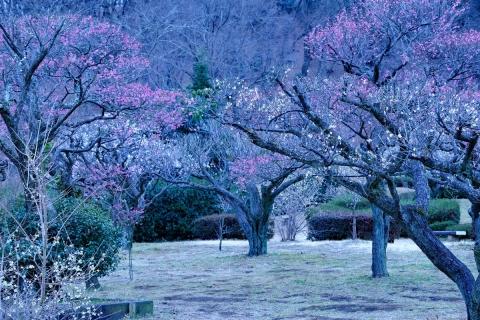 06薬師池公園紅白梅