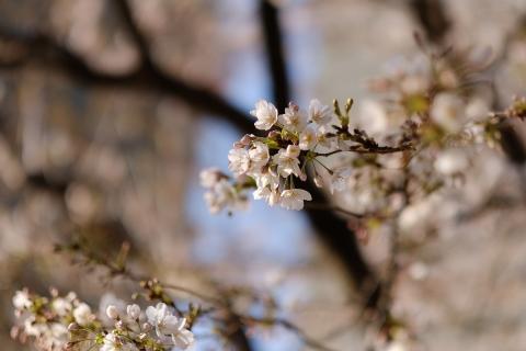 03武蔵小杉さくら