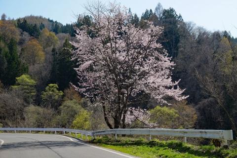 42小川村へヤマザクラ