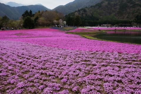 36芝桜祭り