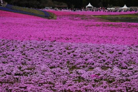 37芝桜祭り