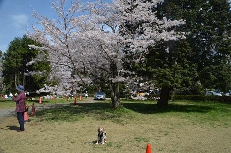 20170412佐倉城址公園15