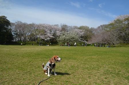 20170412佐倉城址公園27
