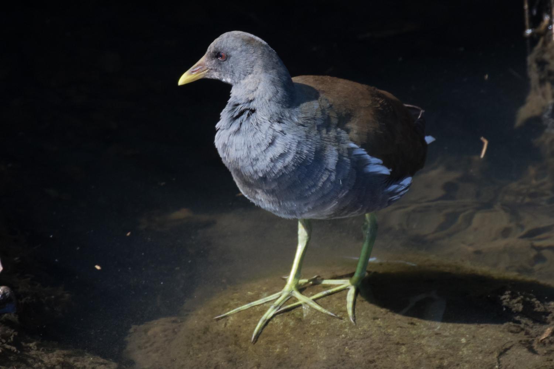 20170309-オオバン幼鳥