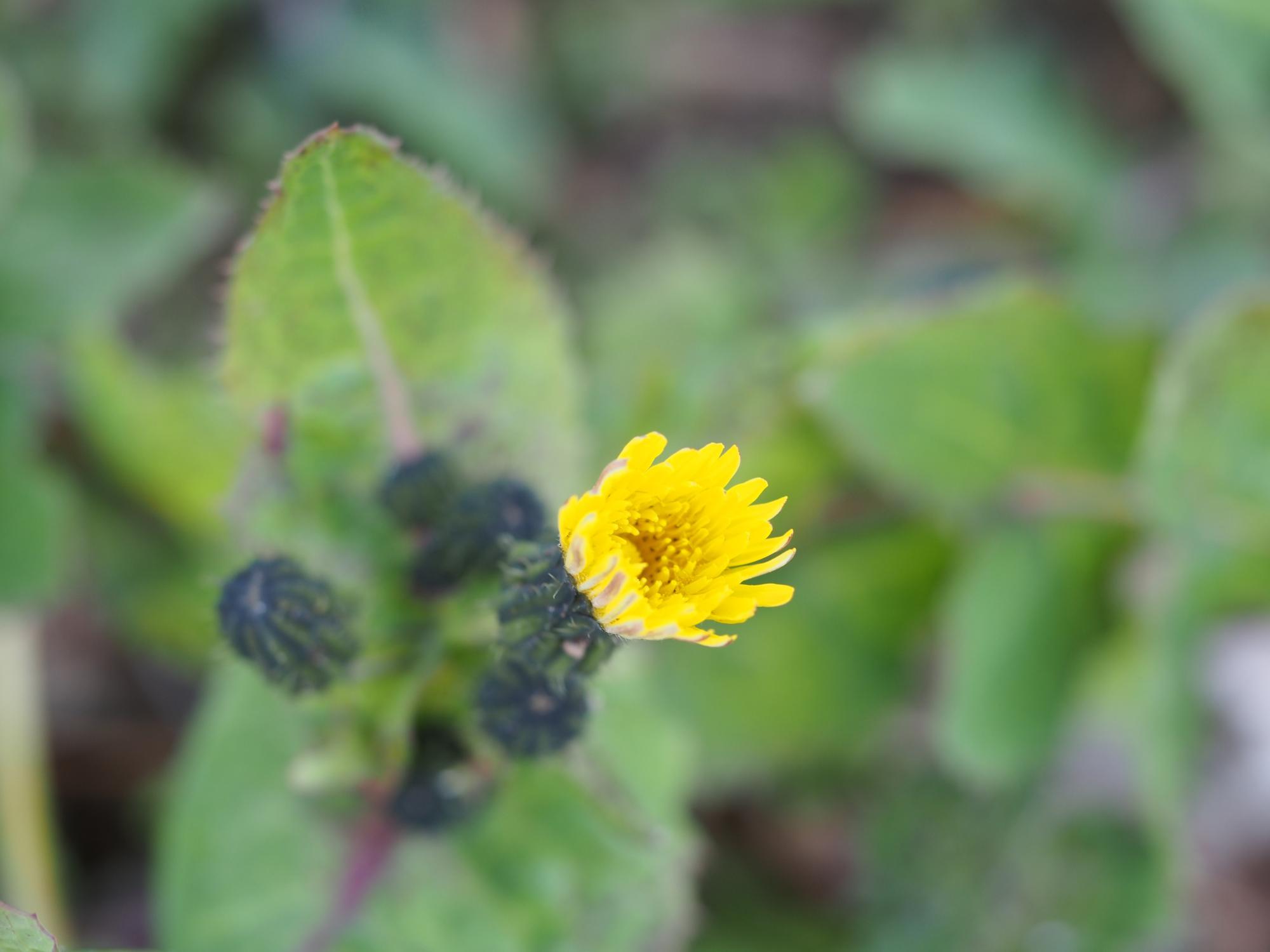 P3170012_黄色い花1