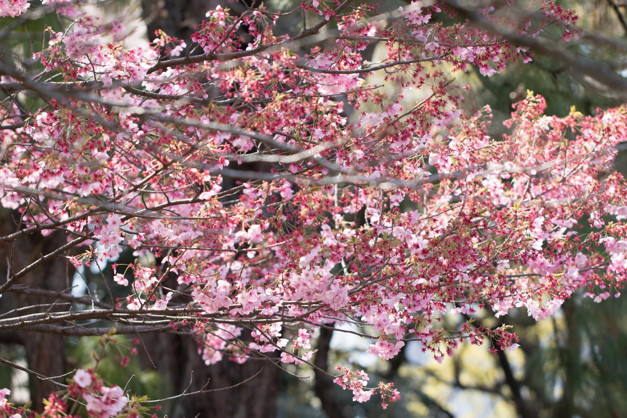 20170405-新宿サクラ2