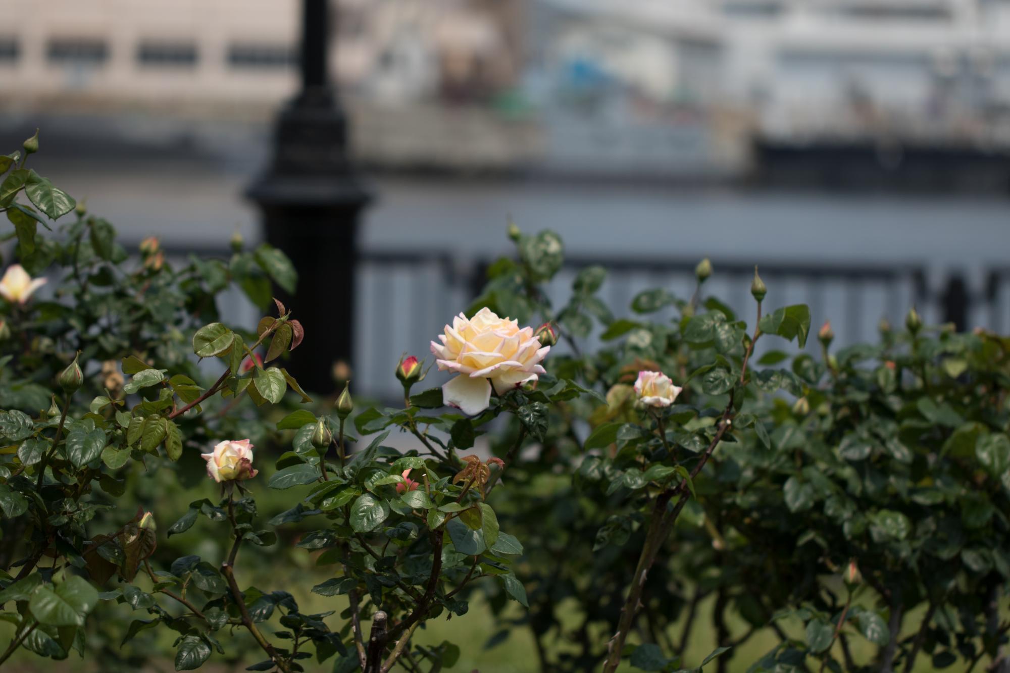 20170501-バラと海