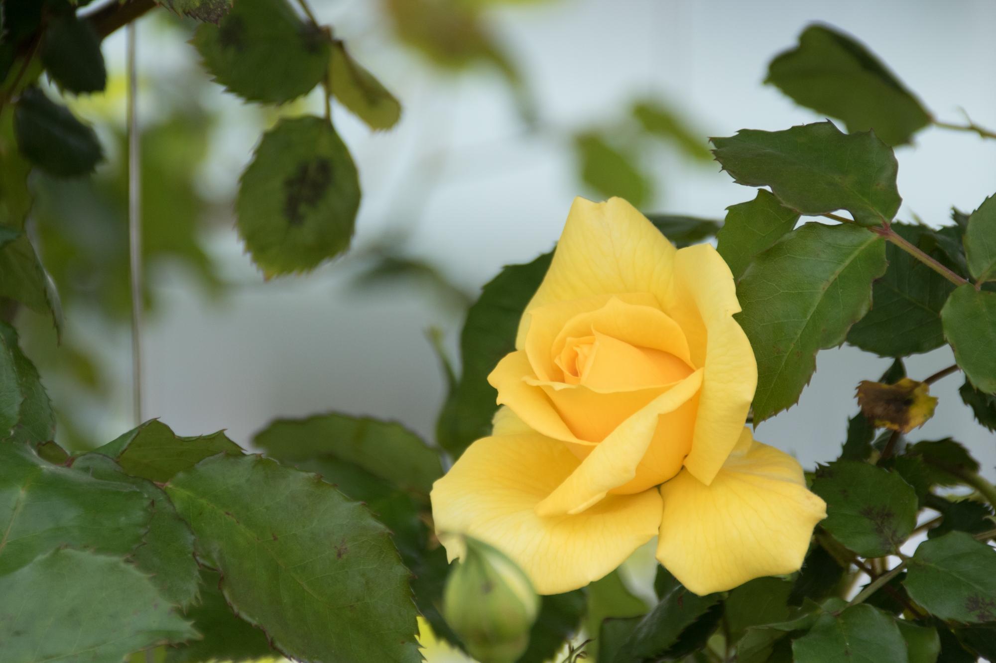 20170501-黄色いバラ