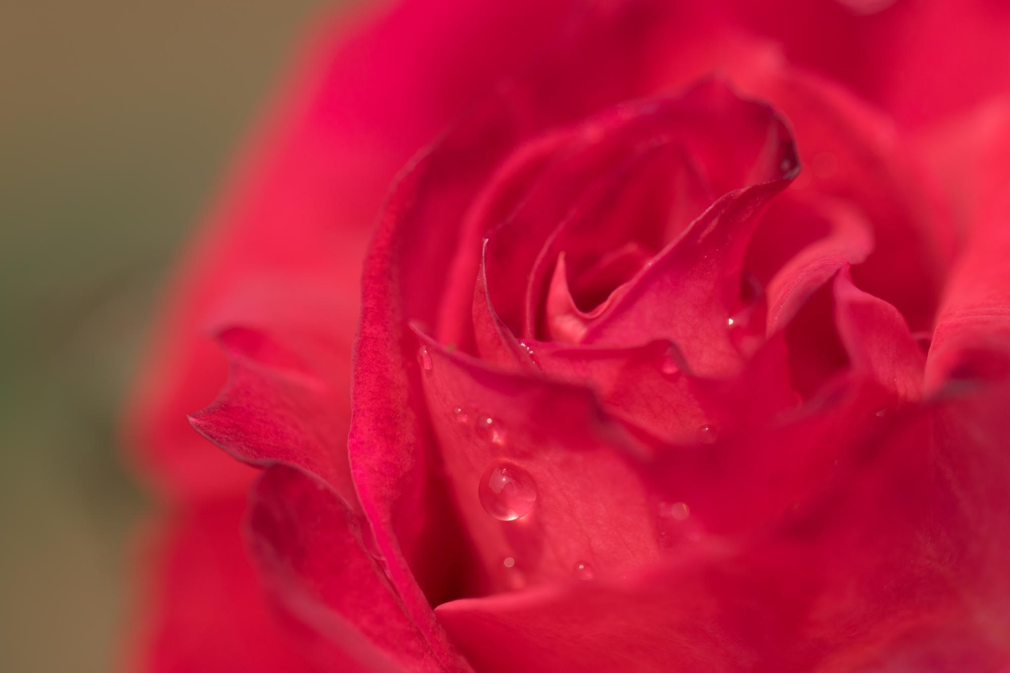 20170501-水滴バラ