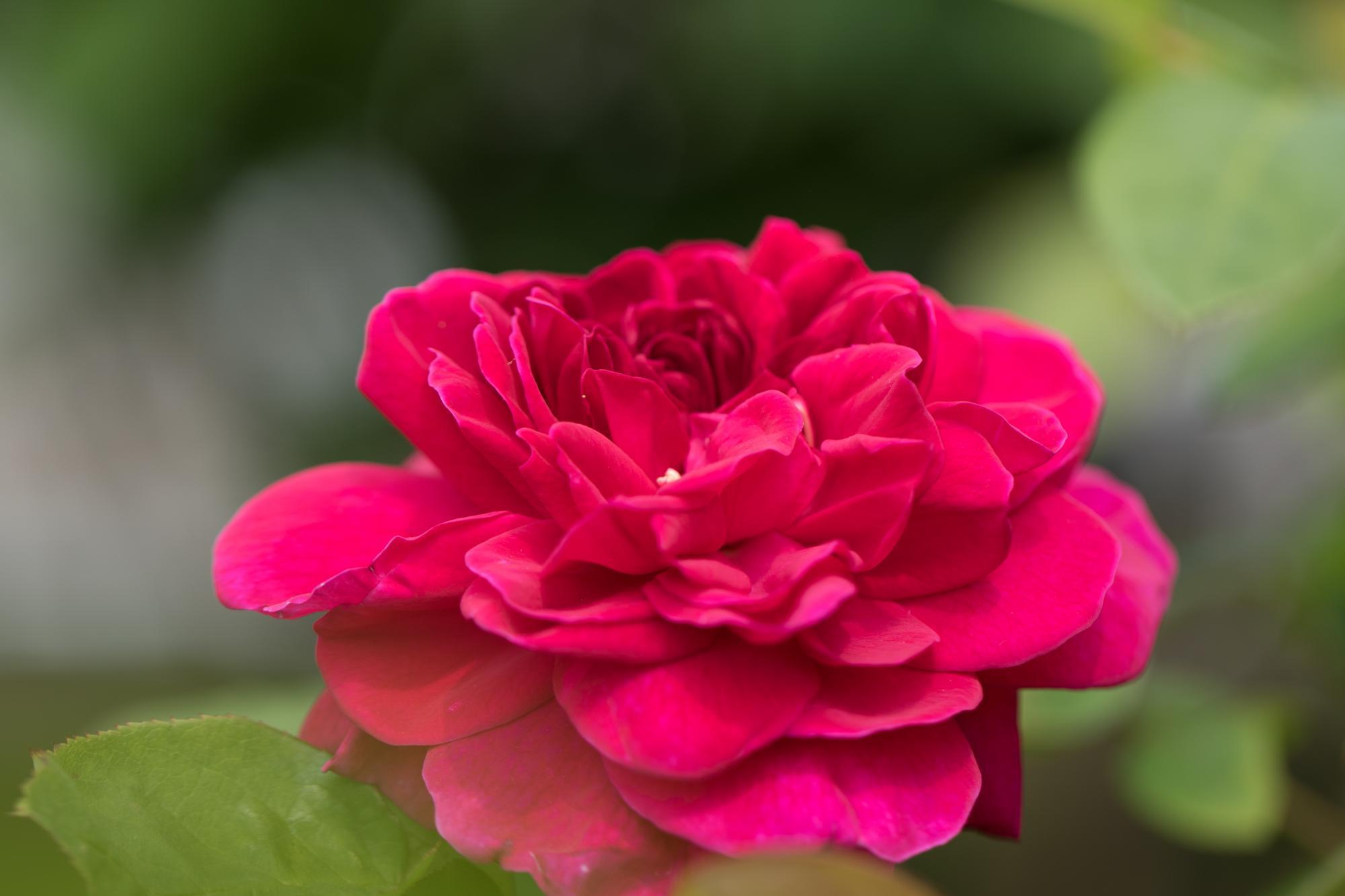 20170501-赤バラ1