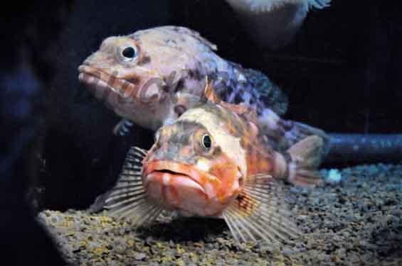 アヤメカサゴ 沼津港深海水族館