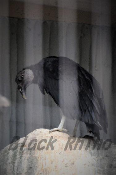 クロコンドル 東山動物園