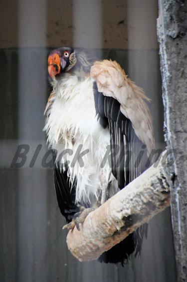 トキイロコンドル 東山動物園