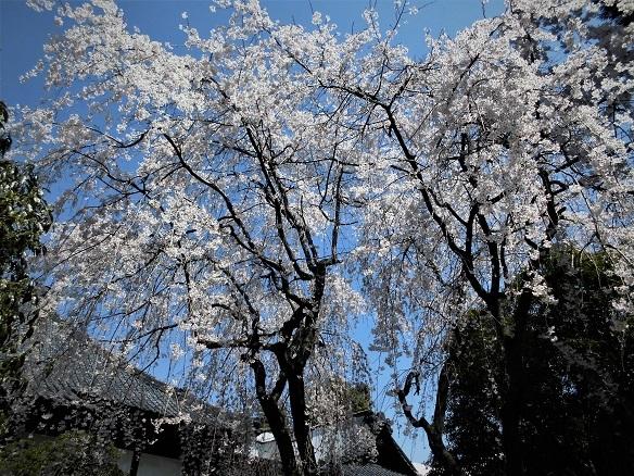17.4.4 潅頂院の枝垂れ桜 (55)