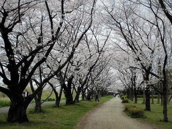 0 17.4.7 民謡・鴨川、大久保浄水場桜ほか (27)