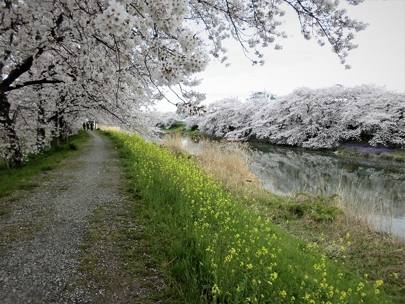 2 17.4.7 民謡・鴨川、大久保浄水場桜ほか (96)