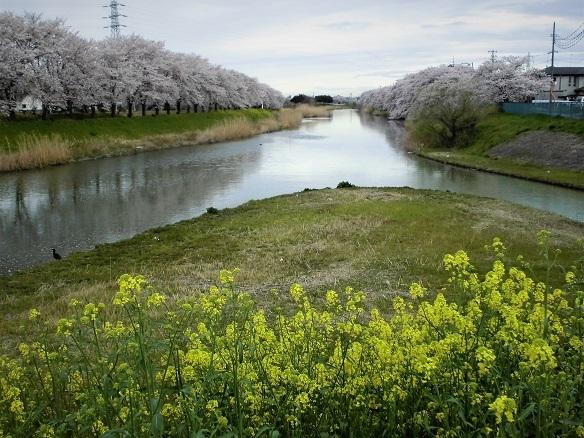 3 17.4.7 民謡・鴨川、大久保浄水場桜ほか (107)