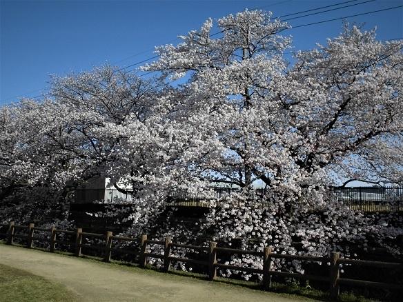 4 17.4.7 民謡・鴨川、大久保浄水場桜ほか (171)
