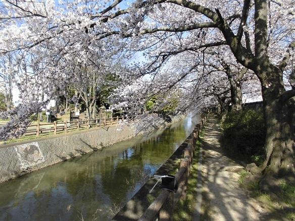 5 17.4.7 民謡・鴨川、大久保浄水場桜ほか (127)