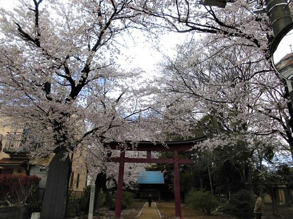 7 17.4.7 民謡・鴨川、大久保浄水場桜ほか (5)
