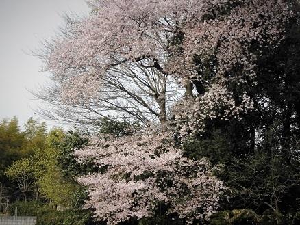 8 17.4.10 鴨川桜散歩と青柳個展 (82)