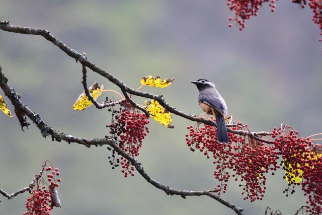 ミミジロチメドリ(1)