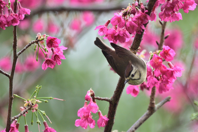 カンムリチメドリ(3)