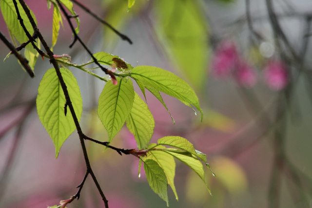 新緑と桜(1)