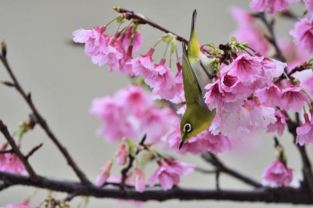 寒桜とメジロ(9)