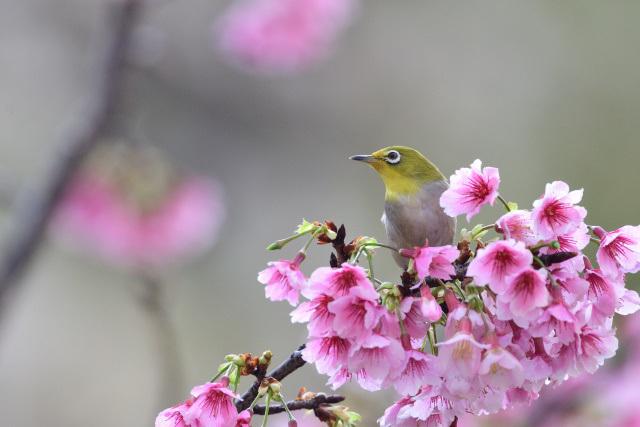 寒桜とメジロ(2)