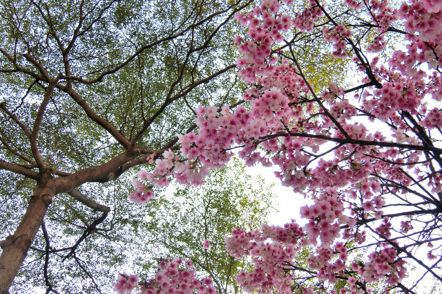 寒桜とメジロ(12)