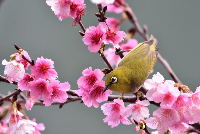富士桜とメジロ(6)