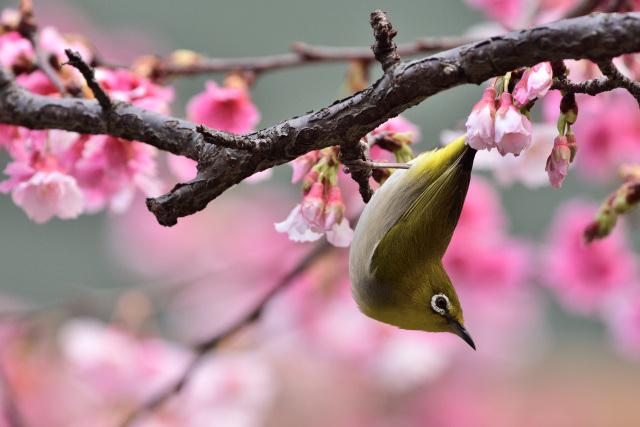 富士桜とメジロ(11)