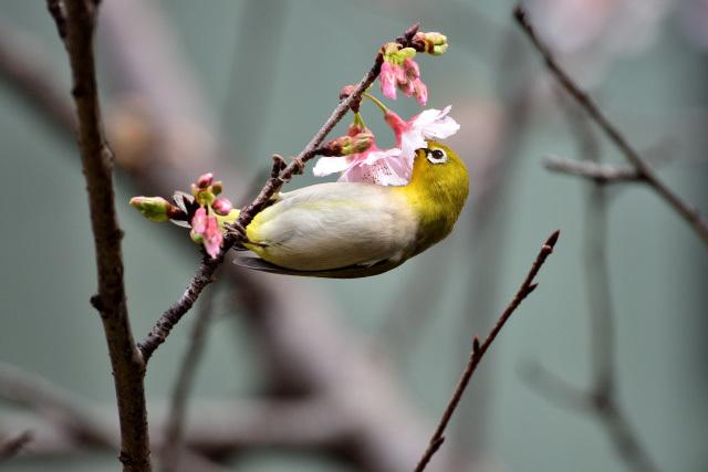 富士桜とメジロ(3)