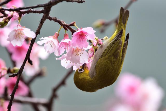 富士桜とメジロ(10)