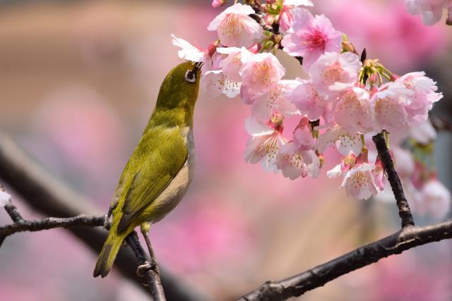 富士桜とメジロ(14)