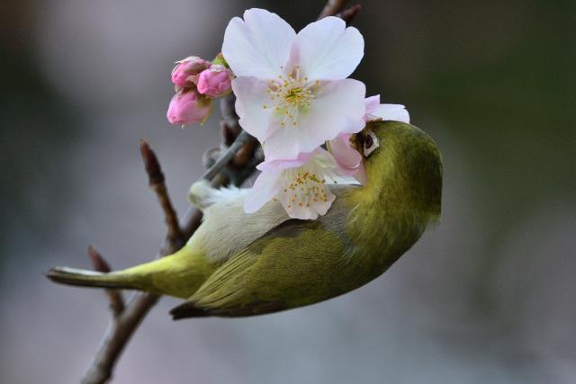 大島桜とメジロ(2)