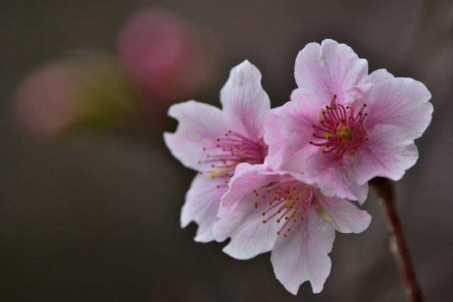 大島桜とメジロ(1)
