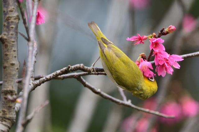 寒緋桜とメジロ(7)