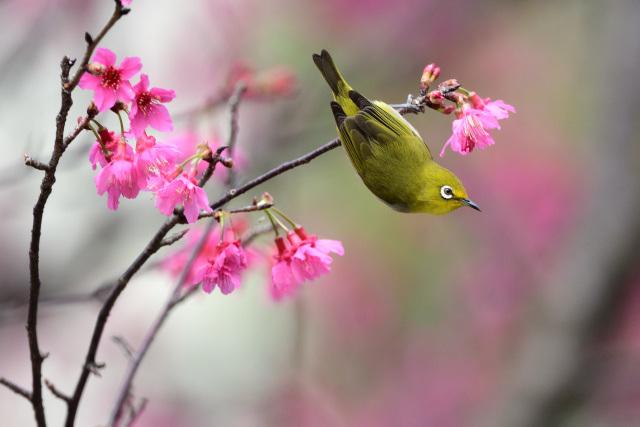 寒緋桜とメジロ(6)